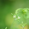 2010-062 Drymaria cordata