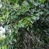 SAJ0097 Lophopyxis maingayi