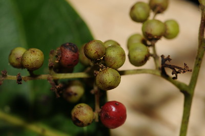 Celastraceae
