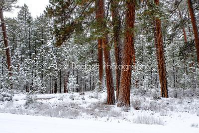 Ponderosa Pine Trees Glow In The Snow