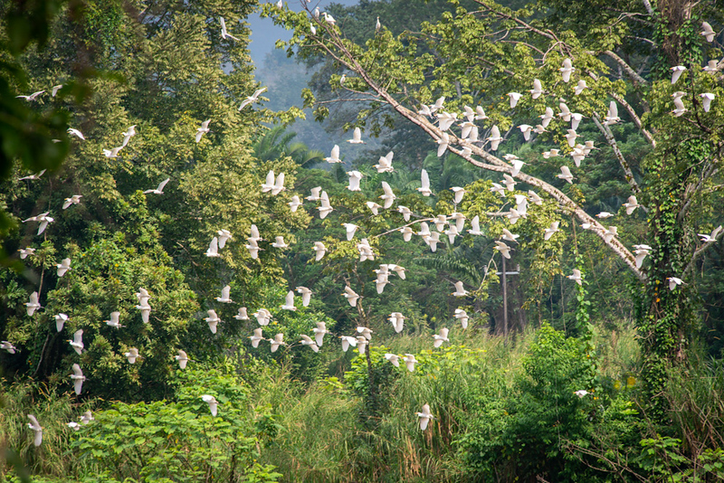 A festival of egrets
