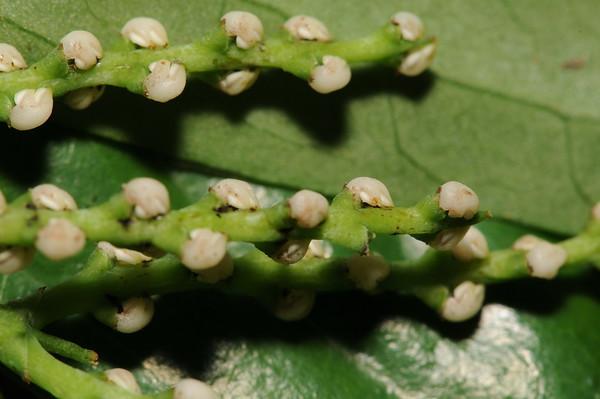 Chloranthaceae
