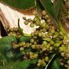 SAJ0524 Ascarina philippinensis