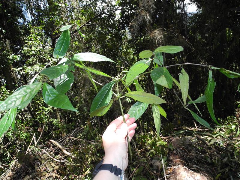 SAJ0397 Chloranthus elatior
