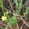 Conn5362 Hypericum papuanum