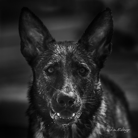 Tasha - German Shepherd Dog