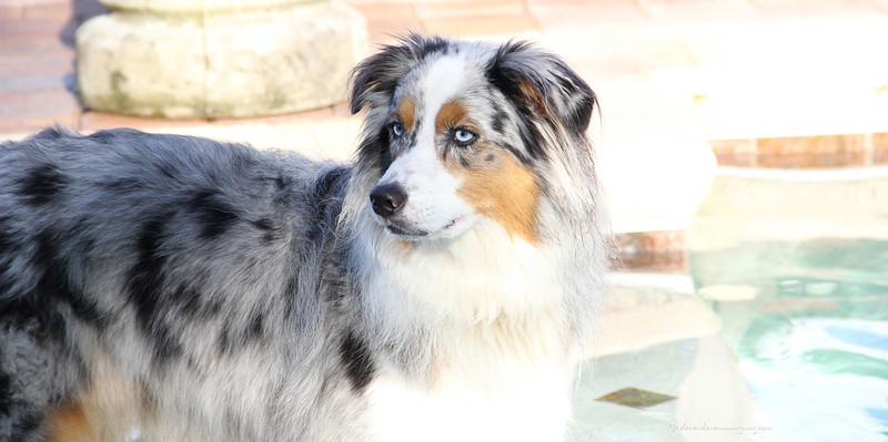 Joey, Australian Shepherd