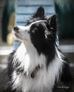 Honor - Border Collie