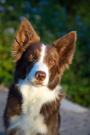 MARCAR Vhari - Border Collie
