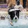 Fly - Border Collie
