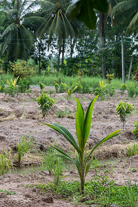 Mekong Delta, Tan Hoa - baby coconut tree