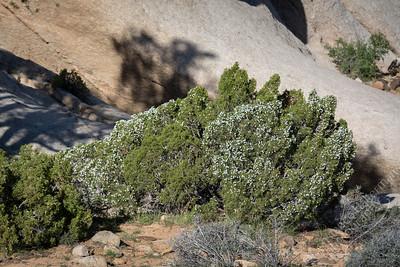 Joshua Tree National Park - juniper