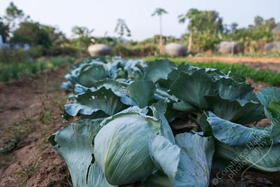 Garden - cabbage