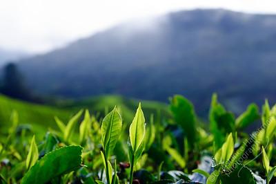 Cameron Highlands - BOH Tea Plantation