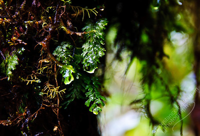 Mossy Forest, Cameron Highlands - moss