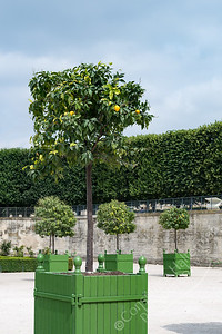 Paris - Jardin de Tuileries, orange tree