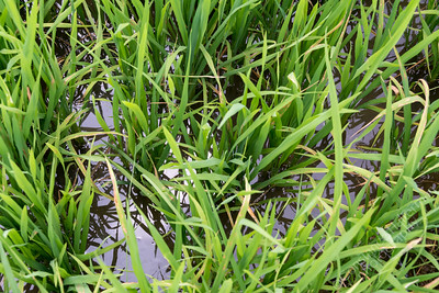 Mekong Delta, Tan Hoa - rice paddy