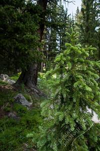 Bighorn Mountains - evergreen