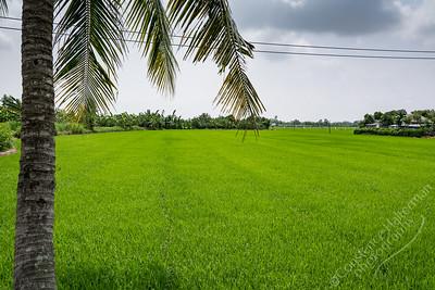 Mekong Delta, Tan Hoa - rice paddy