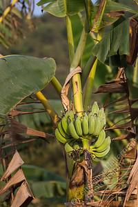 Orchard - bananas