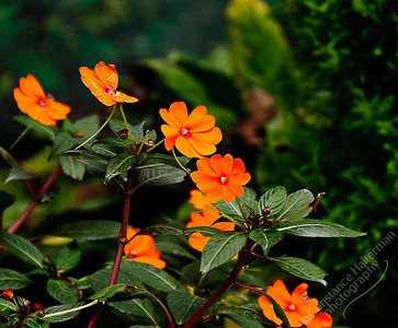 Rose Centre, Cameron Highlands - orange flowers