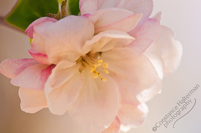 High Desert - apple blossom