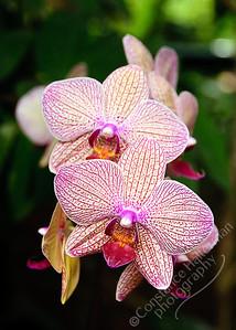 Singapore Botanic Gardens, Orchid Garden - pair