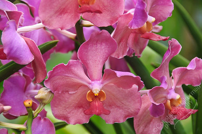 Singapore Botanic Gardens, Orchid Garden - rosy orchids