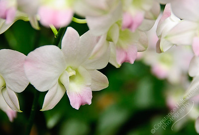 Singapore Botanic Gardens, Orchid Garden - white and pink orchids