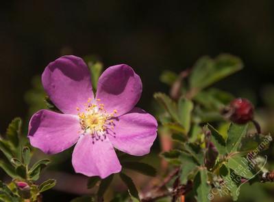 Lower La Jara Creek - wild rose