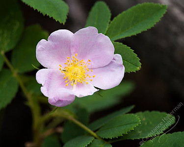 Bighorn Mountains - Wild Rose