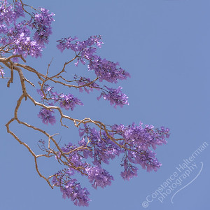 Goodna - Jacaranda flowers