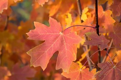 Squaw Peak Road - maple leaf