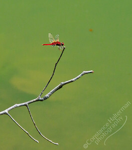 MacRitchie Reservoir - red dragonfly