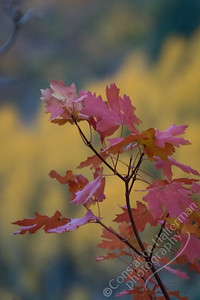 Squaw Peak Road - maple leaves