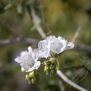 Joshua Tree National Park - branched scorpion weed