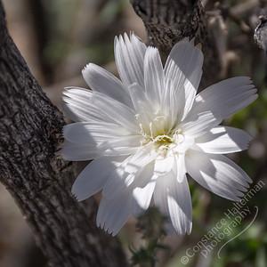 Joshua Tree National Park  - desert chicory