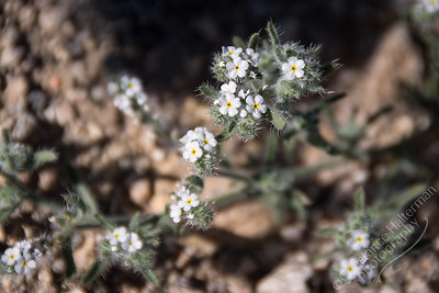 Joshua Tree National Park - bearded cryptantha