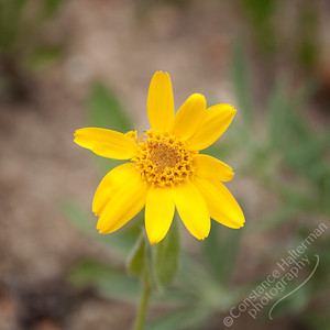 Bighorn Mountains - wildflower