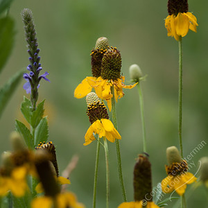 Custer State Park - flowers