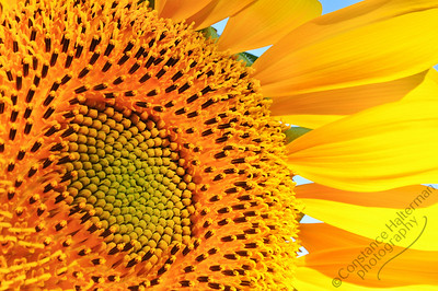 High Desert - sunflower