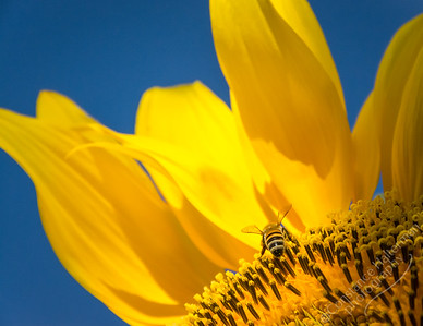 High Desert - sunflower & bee