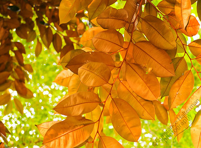 Singapore Botanic Gardens - golden leaves