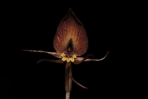Corsiaceae