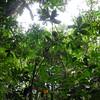 SAJ0988 Tapeinochilos dahlii