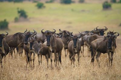 Wildebeests, Serengeti National Park, Tanzania