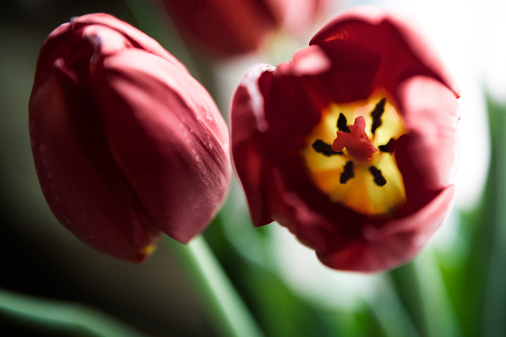 Found some tulips sitting in the kitchen window and loved the backlight! <br /> <br /> Day 168 of 365<br /> 06-17-2013