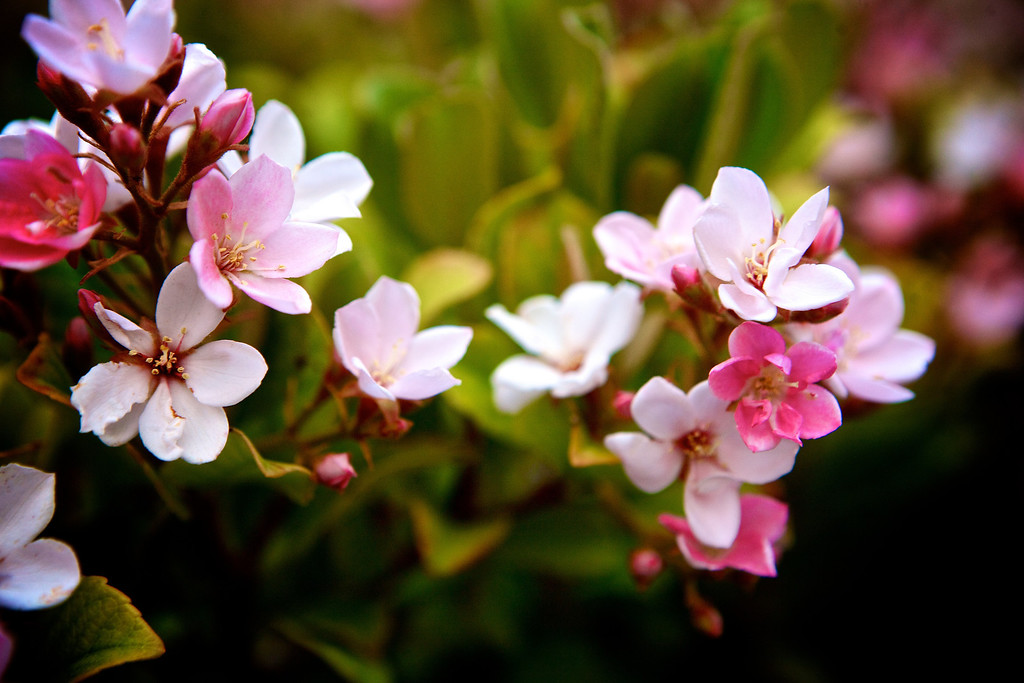 The bushes in my yard are in full bloom! Covered in these little pink flowers!<br /> <br /> Day 94 of 365<br /> 04-04-2013