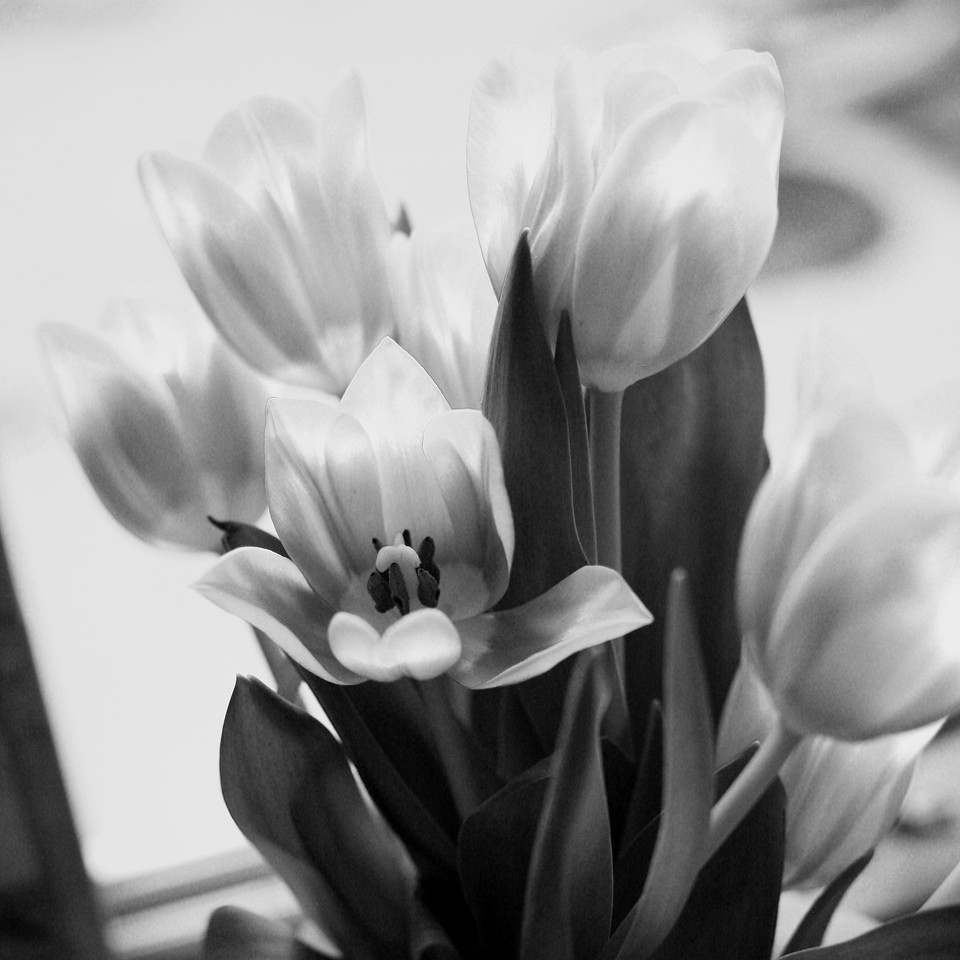 Finding quite a few Tulips around the house these days! Found these sitting in the kitchen window... Really like the color, but liked the B&W conversion better! <br /> <br /> 02-25-2011