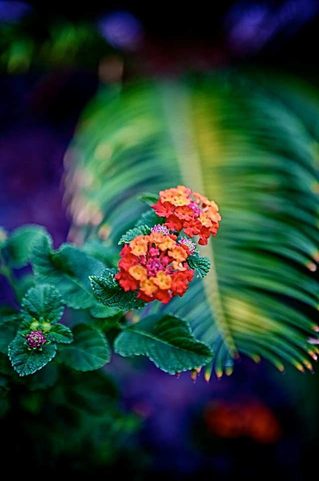 sep12-red-lantana-flowers